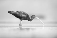 The glossy ibis Plegadis falcinellus hunting in a shallow lagoon. With prey in the beak and drops Stock Images