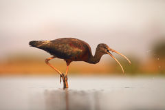 The glossy ibis Plegadis falcinellus hunting in a shallow lagoon. With prey in the beak and drops around the head Royalty Free Stock Photo