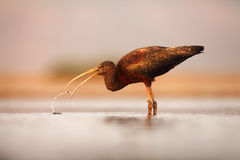 The glossy ibis Plegadis falcinellus hunting in a shallow lagoon. With prey in the beak and drops around the head Stock Images