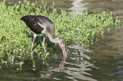 Glossy ibis (Plegadis falcinellus) Royalty Free Stock Images