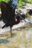 Glossy Ibis or Plegadis falcinellus. Spreading wings in sunshine at the waterside Stock Photography