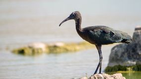 Glossy ibis plegadis falcinellus in water background.  Stock Image