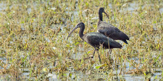 Glossy Ibis (Plegadis Flcinellus) Royalty Free Stock Photos
