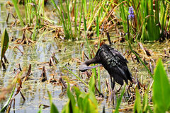 Glossy Ibis Preening Stock Photo