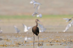 Glossy Ibis at shallow water with gulls at background Royalty Free Stock Images
