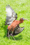 Glossy Ibis spreading its wings Royalty Free Stock Images