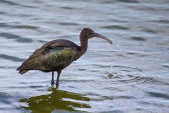 Glossy Ibis. Standing in shallow water, Jamaica Bay Refuge, New york Royalty Free Stock Photo