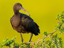 Glossy Ibis standing in a tree Royalty Free Stock Photography