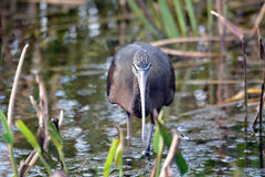 Glossy Ibis staring at me Royalty Free Stock Images