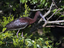 Glossy Ibis in Tree Royalty Free Stock Photography