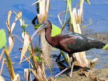 Glossy Ibis walking Stock Photos