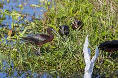 Glossy Ibis In The Wetlands. Group of Glossy Ibis in the wetlands, focus on the front royalty free stock image