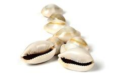 Glossy puka shells Stock Image