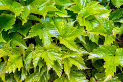 Glossy, shiny grape leaves. In nature background Royalty Free Stock Photos