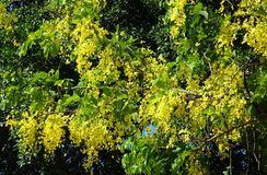 Glossy Shower Senna Tree Stock Photography