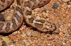 Glossy snake. Close up of glossy snake from above stock photos
