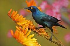 Glossy starling. A glossy starling on aloe Stock Photos