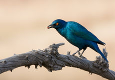 Glossy Starling Stock Photo