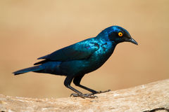 Glossy starling Stock Image