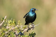 Glossy Starling Royalty Free Stock Photos