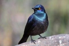 Glossy Starling Bird Royalty Free Stock Photos