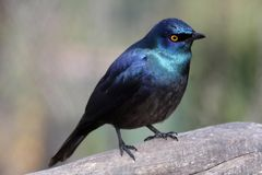 Glossy Starling Bird royalty free stock photos