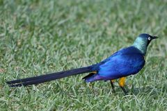 Glossy Starling Bird. Long tailed Glossy Starling bird on green grass Royalty Free Stock Image