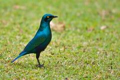 Glossy starling bird Royalty Free Stock Image