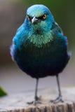 Glossy Starling Bird Royalty Free Stock Photo