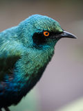 Glossy Starling Bird Stock Image