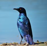 Glossy Starling - Blue and Purple Royalty Free Stock Image