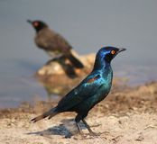 Glossy Starling - Blue and Purple Stock Photos