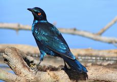 Glossy Starling - Blue and Purple Shine from Africa Royalty Free Stock Images