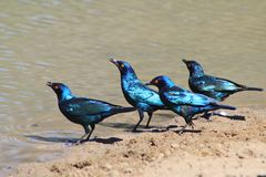 Glossy Starling - Blue and Purple Shine from African Birds of Color Royalty Free Stock Image