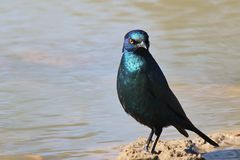 Glossy Starling - Blue and Purple shine of background - African wild birds Royalty Free Stock Photos