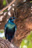 Glossy Starling. A brightly illuminated Glossy Starling of Southern Africa Stock Image
