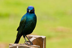 Glossy Starling with a cheeky expression Royalty Free Stock Image