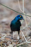 Glossy Starling. An inquisitive Glossy Starling hoping to get a treat from bystanders Stock Photo