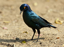 Glossy starling looking for food Stock Photos