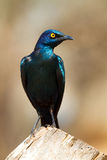 Glossy starling portrait. A portrait of a colorful glossy starling in sunlight Royalty Free Stock Photography