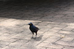 Glossy starling walking on paving Stock Images