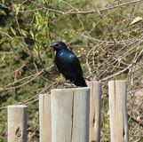 Glossy starling Stock Photography