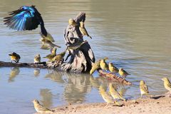 Glossy Starling and Yellow Finch - Colors and Motion from wild Africa royalty free stock image