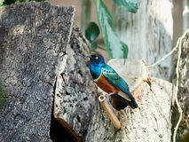Glossy starling at zoo. In Vienna, Austria Royalty Free Stock Images