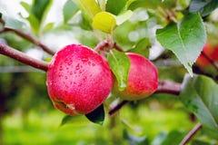 Gloster苹果树分支用在雨以后的苹果 免版税库存照片