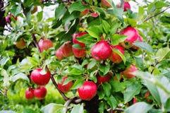 Gloster苹果树分支用在雨以后的苹果 库存图片