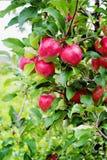 Gloster苹果树分支用在雨以后的苹果 免版税库存图片