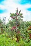 Gloster苹果树用在雨以后的苹果 库存图片
