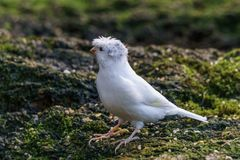 Gloster canary Exotic birds and animals in wildlife in natural setting.  stock photos