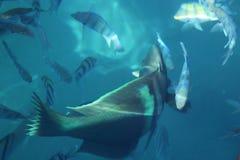 Glotón del Mar Rojo Imagen de archivo libre de regalías
